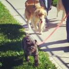 dogs, dog walkers, pet sitter, Aurora, Richmond Hill, York Region, Toronto, dog, pet, animal